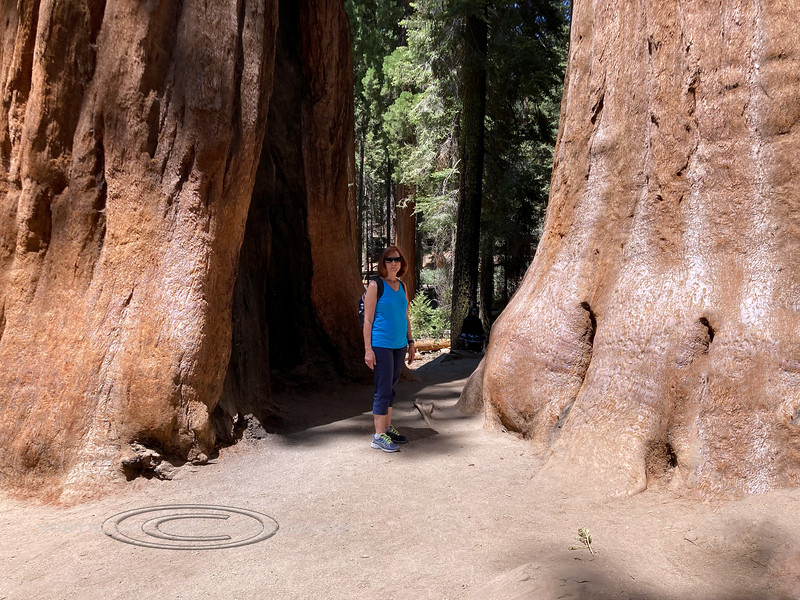 2021.6.21#0987.2. My wife Mary Lou making her way through and giving perspective to the enormity of some giant Sequoia's in the Congress Grove of Sequoia Nat Park, California.