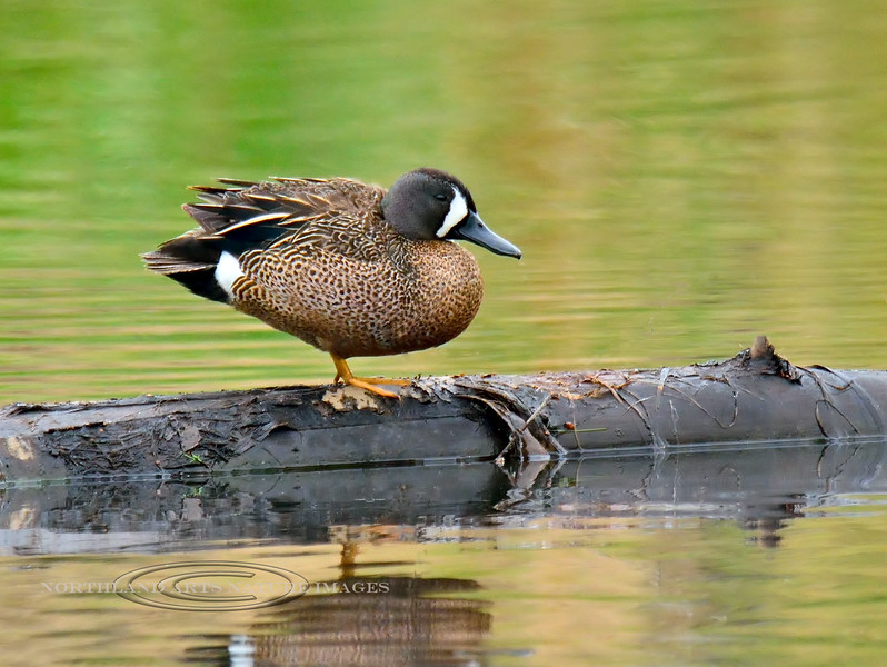 A Blue-winged Teal 2015.6.5. A species that was not very plentiful when I lived in the North Country. Spenard Crossing, Anchorage Alaska. See the  Alaska Bird gallery for many more north country bird images.