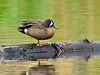 Teal, Blue-winged. A species that was not very plentiful when I lived in the North Country. South Central, Alaska. #65.097.  See Alaska Bird gallery for many more north country bird images.
