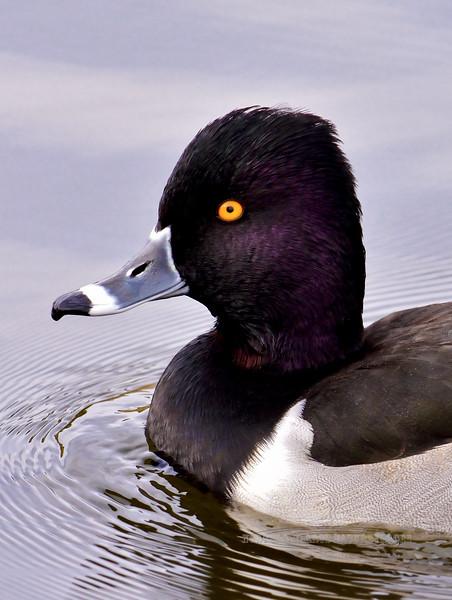 Duck, Ring-necked. Yavapai County, Arizona. #1113.179.