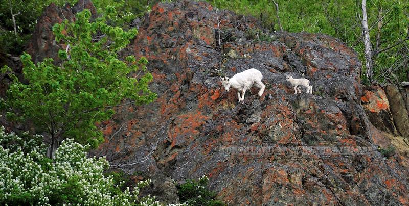 Sheep, Dall. Ewe and newborn lamb. The Windy area, Chugach Mountains South Central, Alaska. #69.009.