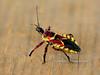 Yellow-bellied Bee Assassin 2018.8.10#012. Prescott Valley Arizona.