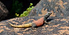 Chuckawalla 2019.3.6#426. A male basking on a rock. Maricopa County Arizona.