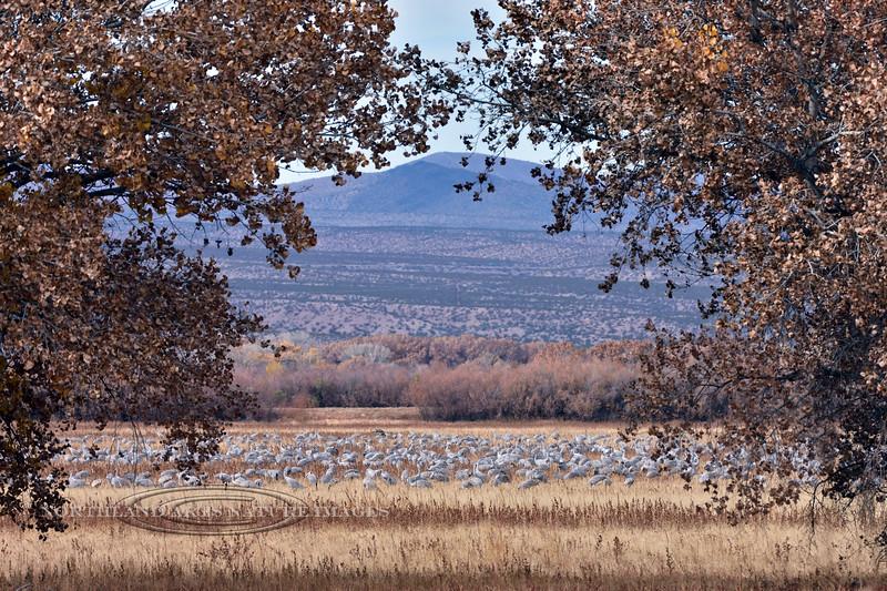 Sandhill Cranes 2019.11.10#271.2. Feeding in the Bosque del Apache NWR, New Mexico.