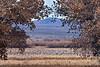 Sandhill Cranes 2019.11.10#271.2. Feeding on the Bosque del Apache NWR, New Mexico.