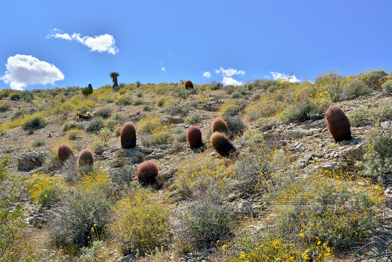 A group of Compass Barrel cactus. 2020.4.21#0293.3. In the Newberry Mountains Nevada.