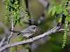 Bushtit 2018.4.27#053. A plumbeus interior species. Mingus  Mountain, Yavapai County Arizona.
