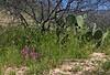 AZ-Purple Owl's Clover 2019.3.29#131. Castilleja exserta. Tonto Basin Arizona.