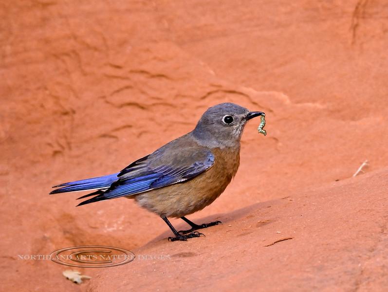 Western Bluebird 2019.1.17#751. A female. Lake mead Nevada.