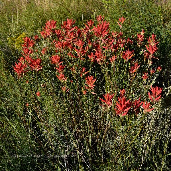 Giant Red Indian Paintbrush 2017.9.17#684. Castilleja miniata. Painted Desert, Arizona.