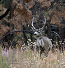Mule Deer buck 2019.10.15#628. Kaibab Forest, North Rim of the Grand Canyon Arizona.