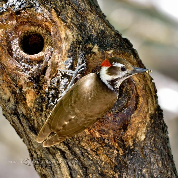 Woodpecker, Arizona (Strickland's). Santa Rita Mountains, Arizona. #48.1174.