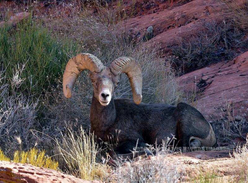 2019.10.12#270.3. A real good Desert Bighorn Ram.