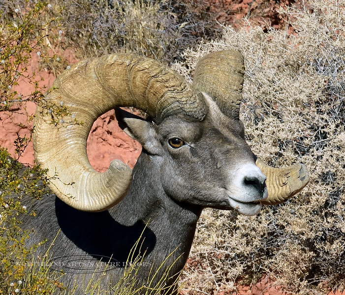 2019.10.12-A really great Desert Bighorn Sheep.