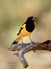 Scott's Oriole 2018.4.8#1329. Madera Canyon, Santa Rita  Mountains, Arizona.