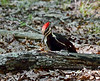 2020.7.26#5495.6. A  mature female Pileated Woodpecker drilling for invertebrates in a fallen tree. Penn's Woods. Pennsylvania. Photo by Guy J.