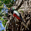 Elegant Trogon 2018.5.15#376. Madera Canyon, Santa Rita Mountains, Arizona.