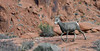 Desert Bighorn ewe 2018.12.14#1262. Lake mead Nevada.