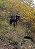 Wolf, Gray. A black phase loner. Alaska Range, Alaska. #92.0356. 2x3 ratio format.