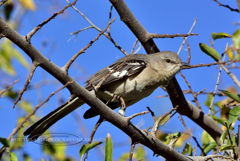 Northern Mockingbird 2017.12.7#254. Gilbert, Maricopa County Arizona.