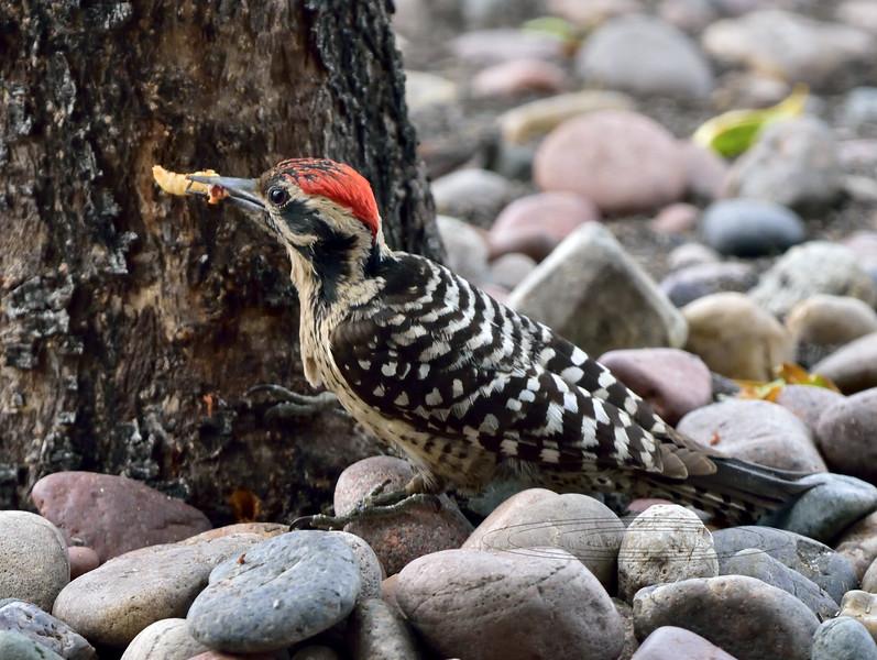 Ladder-backed Woodpecker 2018.5.7#259. Prescott Valley Arizona.
