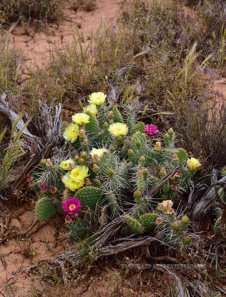 Plains Prickly Pear Cactus. 2019.6.17#223. Opuntia polycantha var. erinacea showing both forms of color on the same plant. Grand Staircase-Escalante area, Utah.