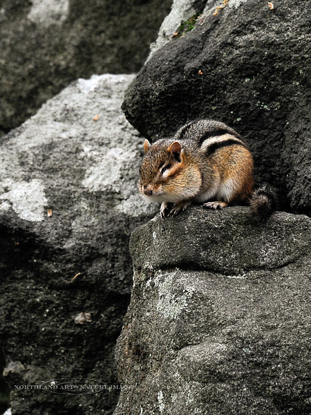 """Eastern Chipmunk 2012.5.7#259. A one-eyed individual rests on an unusual pile of boulders that are Olivine Diabase. The Diabase formed deep in the earth during the early Jurassic period. Unusual circumstances uplifted the Olivine & Pyroxene sills to the surface during the Pleistocene Epoch. Extreme freezing conditions broke the sills into jumbled piles and fields of """"Ringing Rocks"""".  Bucks County PA is one of only three areas in the Northeast US these lithiophonic """"Ringing Rocks"""" occur."""