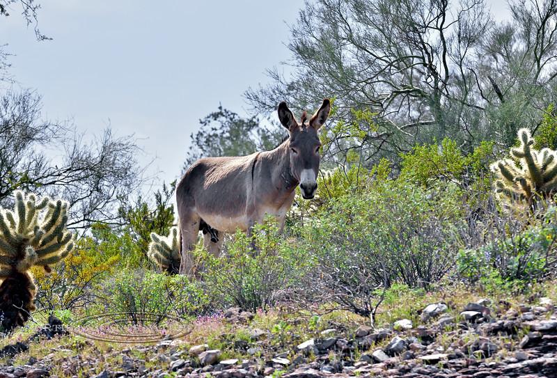 A Wild Burro. 2020.3.20#7561.5X. Near Lake Pleasant Arizona.