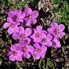 75.Phlox sibirica, the Siberian Phlox. Seward peninsula, Alaska. #621.113. 1x1 ratio format.