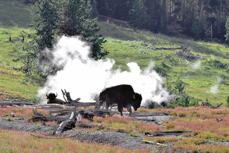 Plains Bison 2018.7.4#1037. Hanging out at a Sulphur Cauldron. Yellowstone Park, Wyoming.