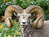 Sheep, Bighorn. Rocky Mountains. #517.1318. 3x4 ratio format.