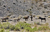 Wild Burro's 2021.6.14#3880.2. In the Mohave Desert near Beaty Nevada.