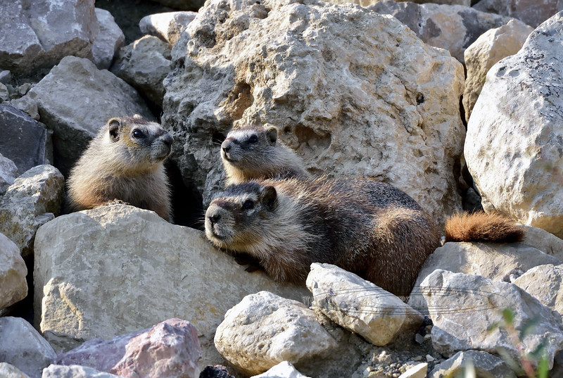 Yellow-bellied Marmot 2018.7.5#1100. Near Shell Falls, Bighorn Mountains, Wyoming.