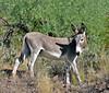 A young Wild Burro. 2021.10.7#5789.3. Lake Pleasant Arizona.