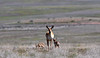 A Pronghorn Antelope doe accompanied by two fawns. The larger one on the right is probably not her's. Yavapai County Arizona. 2020.4.23#0093.3.