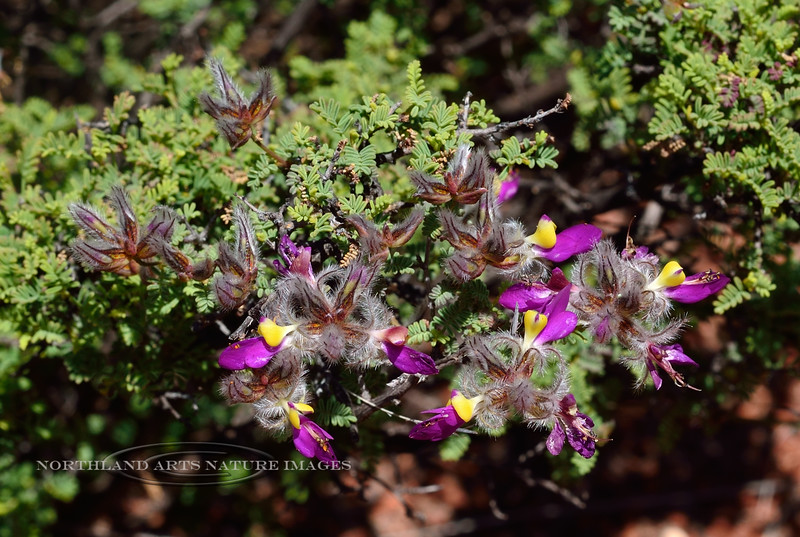 Featherplume 2019.4.19#246. Dalea formosa. Red Rock State Park, Arizona.