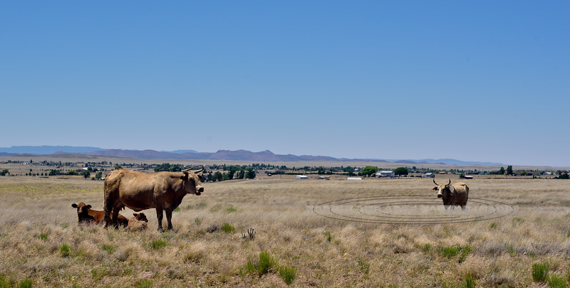 AZ- Cows on the Prairie. Prescott Valley, Arizona. #612.026.