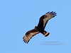 "Hawk,Common Black. Cruising over ""The Dells"" Yavapai County, Arizona. #427.229."