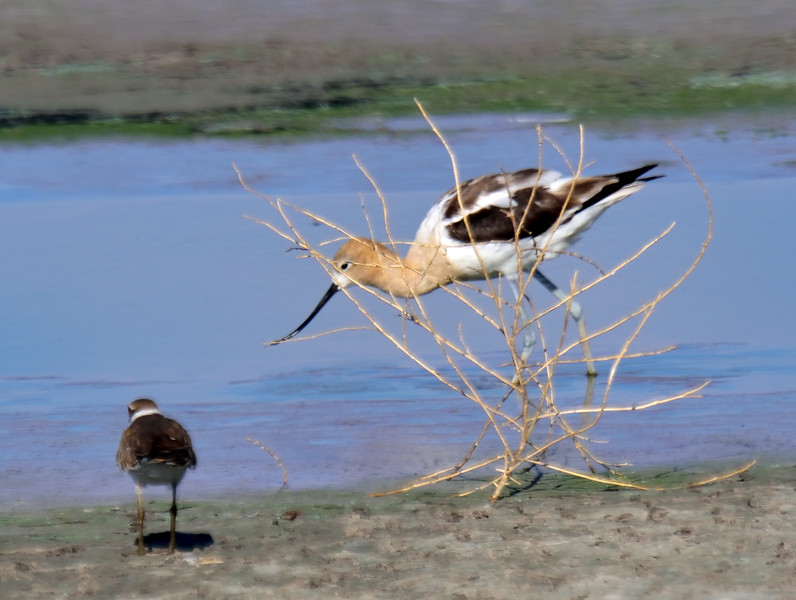American Avocet. 2019.7.20#501. An Avocet probing behind a tumble weed while a Killdeer watches. Cochise Lake, Wilcox Arizona.