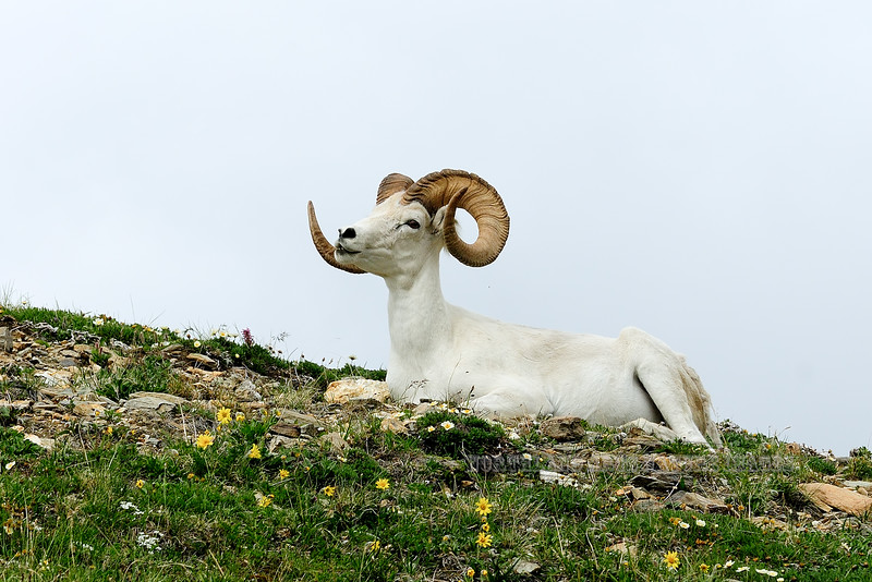 A Dall ram 2012.6.30#145. A fine mature ram chewing his cud on a high ridge. Primrose Ridge, Denali Park Alaska.