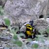 Townsend's Warbler 2018.4.8#772. Madera Canyon, Santa Rita Mountains, Arizona.