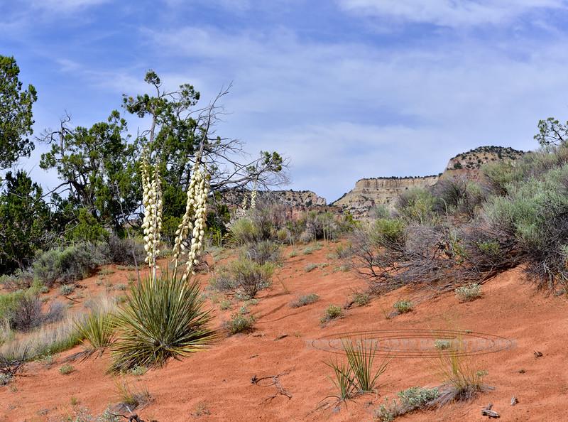 Harriman's Yucca. 2019.6.17#360. Route 89, Sand Hills area, Utah.