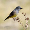 Cassin's Kingbird 2018.5.5#208. Chiricahua mountains, Arizona.