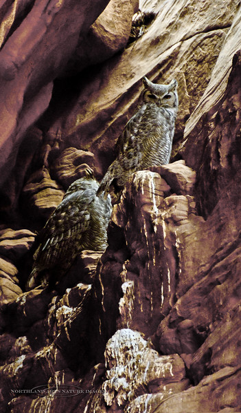 Great Horned Owls on a roost in a slot Canyon. 2019.10.17#1358. Page Arizona. Photo by Guy J.