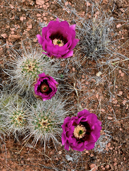 AZ-Echinocereus species, maybe engelmannii, Hedgehog Cactus. Red Rock State Park, Arizona. #425.212.