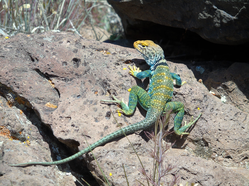 The Eastern Collarded Lizard 2020.7.4#6303.3. Crotaphylus collaris, the most beautiful and good looking of all the lizards in the west I think. Yavapai County Arizona. Photo courtesy by my friends Gary and Janet Drake.