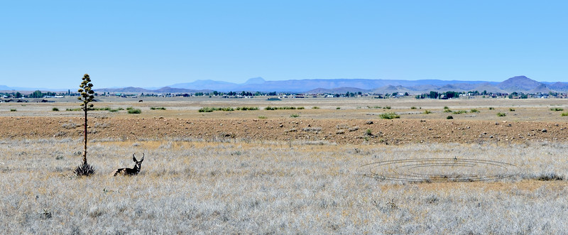 A Pronghorn buck. 2019.8.20#085, hunts for every bit of shade he can find on the prairie when the temp hits 101. Mingus foothills Arizona.