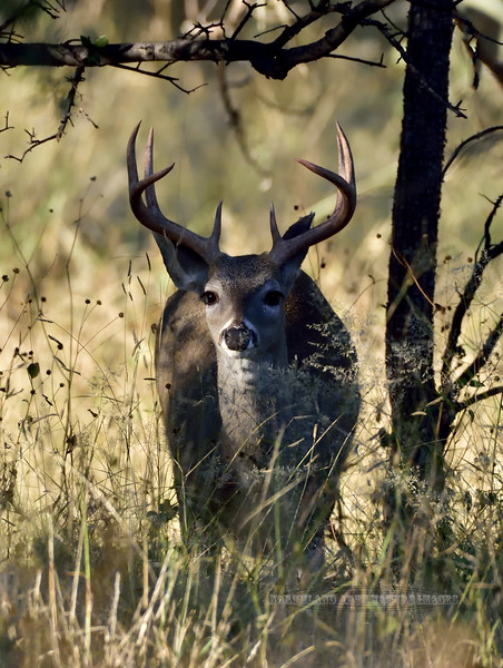 Coues Deer 2018.10.16#089.  A Coues Whitetail buck. Arizona.