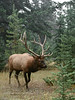 Rocky Mountain Elk 2017.9.8#214. Near the Athabasca river, Alberta, Canada.