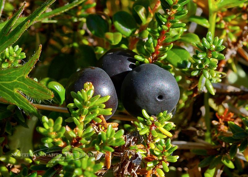 The Crowberry 2005.8.11#0296. Hultein #68.Empetrum nigrum. Upper Palmer Creek, Kenai Peninsula Alaska. See Alaska Yukon flora for many rare and unique plants.